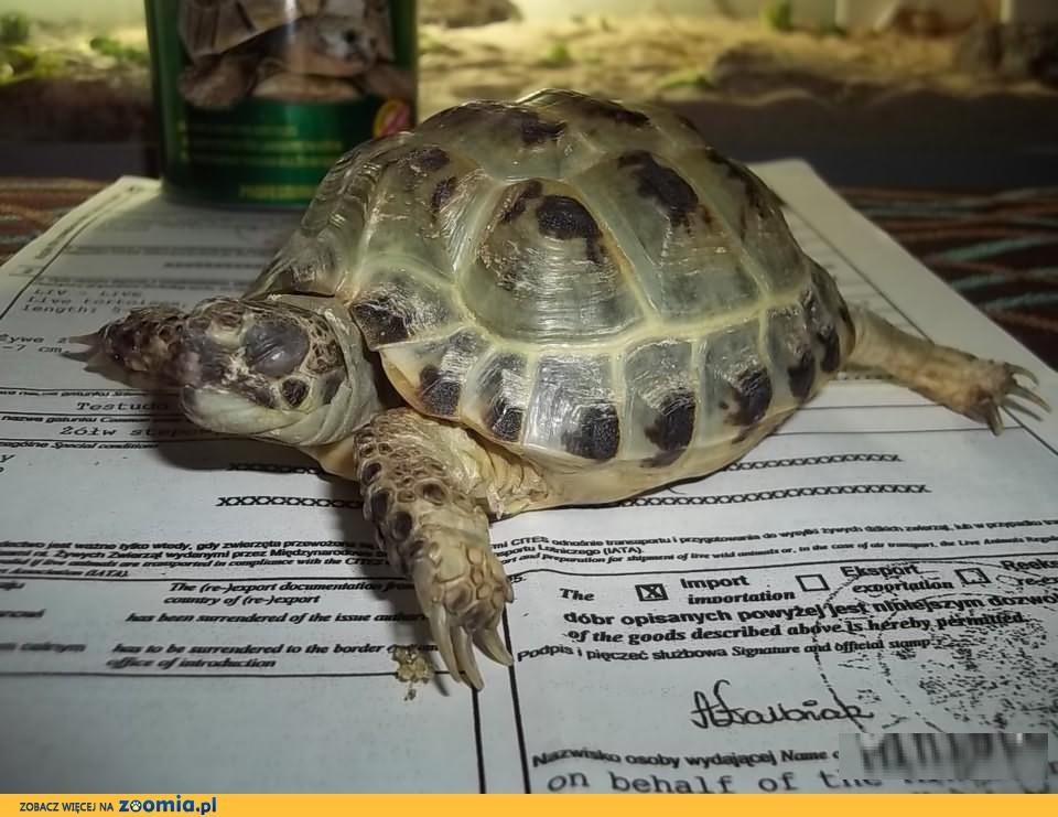 Tanio sprzedam dużego żółwia stepowego