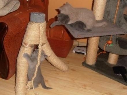 Przepiękne kotki Brytyjskie   wielkopolskie Leszno