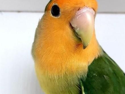 Nierozłączka czerwonoczelna nierozłączki czerwonoczelne papuga papugi młode do oswojenia jak i dojżałe pary nierozłączka fischer