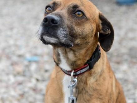 Parys  drobny pies o hipnotyzującym spojrzeniu  zakochaj się!