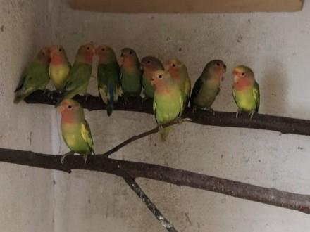Papugi Nierozłączki Szeki