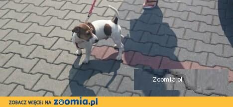 Jack Rasell Terrier