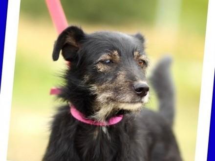 Terierkowaty OKI średni psiak 12 kg łagodny przyjacielski_Adopcja_