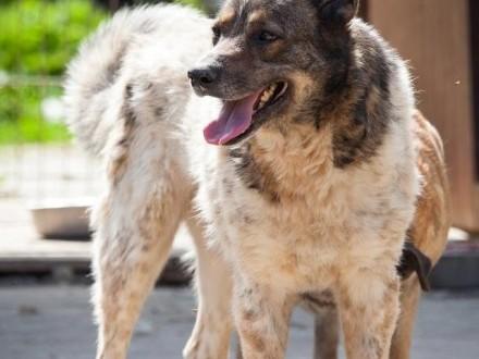 Tajger - piękny  ale wymagający pies czeka na dom