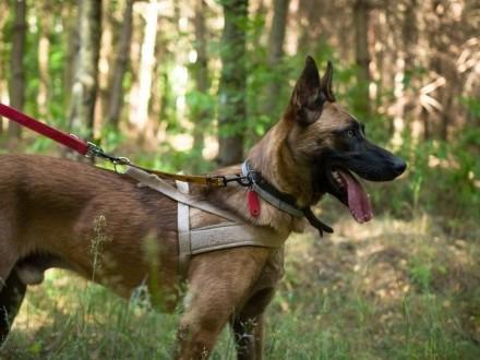 Pies w typie owczarka belgijskiego malinois do adopcji   łódzkie Sieradz