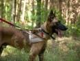 Pies w typie owczarka belgijskiego malinois do adopcji,  łódzkie Sieradz