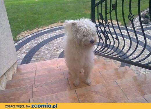 Znaleziono psa,  małopolskie Tarnów