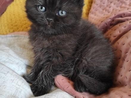 Czekoladowa kotka brytyjska