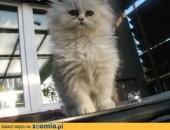 kotek perski,  dolnośląskie Wrocław