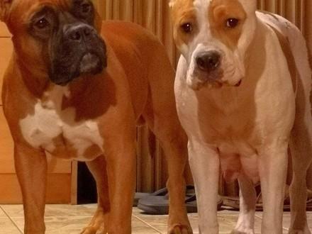 Szczeniaki American Staffordshire Terrier Rodowód FCI i ZKWiP