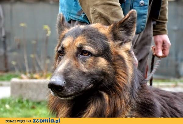 Gros - owczarek niemiecko-belgijski :) Cuuudne psisko! :)
