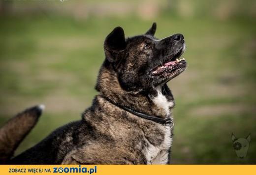 APE - kawał wspaniałego psa, co o dom swój woła !!!,  małopolskie Kraków