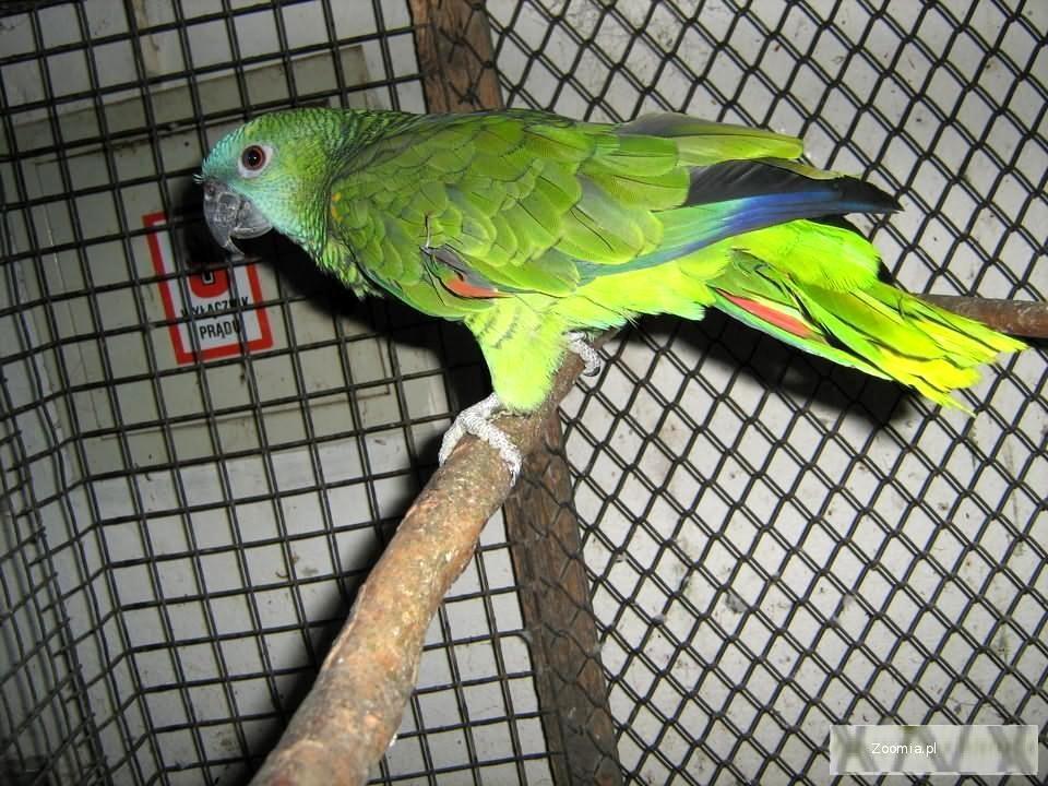 Amazonka Niebieskoczelna