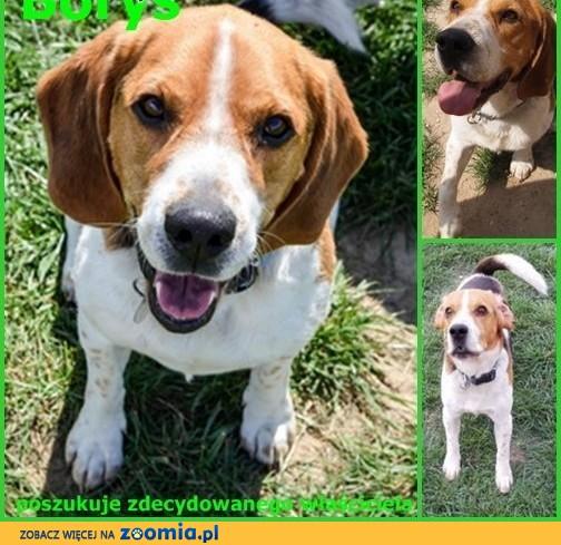 Beagle Borys poszukuje zdecydowanego właściciela ,  Beagle cała Polska