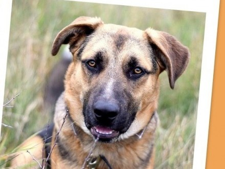 1 rok  38 kg w typie owczarka  przyjazny pies KASO_Adopcja