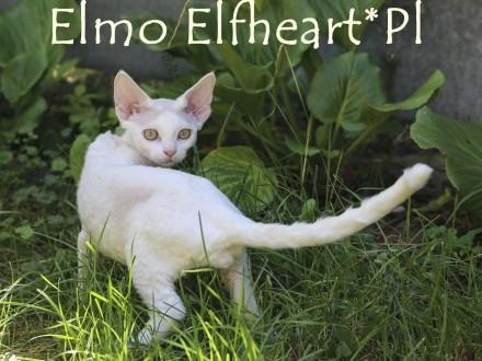 ELMO Elfheart*PL cudowny kocurek gotowy do zmiany domu