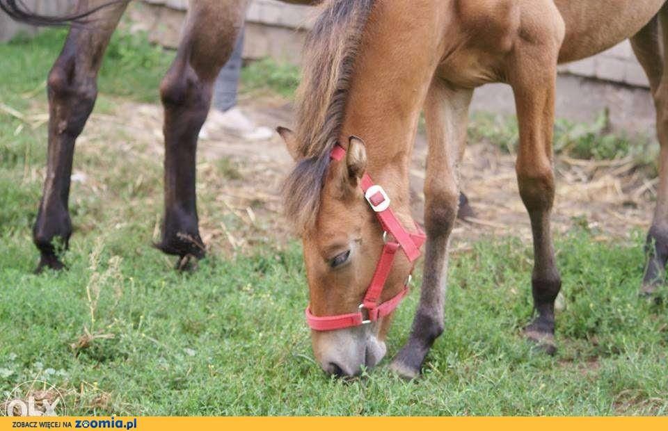 Sprzedam konia (hc)