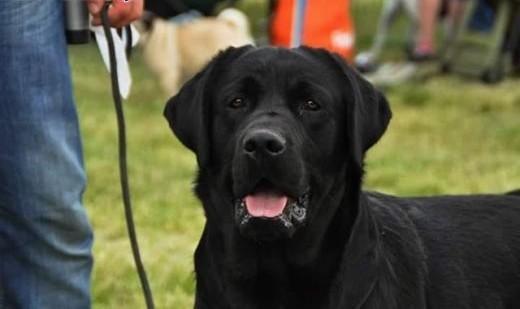 Labrador retriever POSEIDON    Labrador retriever cała Polska