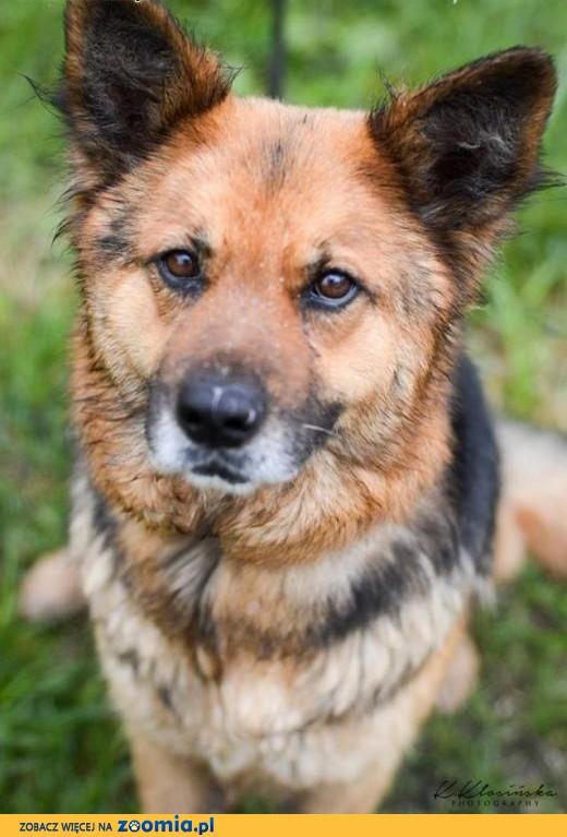 Grzeczna, przyjazna Berta, lubiąca inne psy sunia mix owczarek,  Kundelki cała Polska