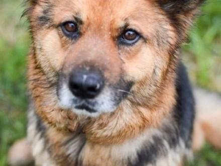 Grzeczna  przyjazna Berta  lubiąca inne psy sunia mix owczarek   Kundelki cała Polska