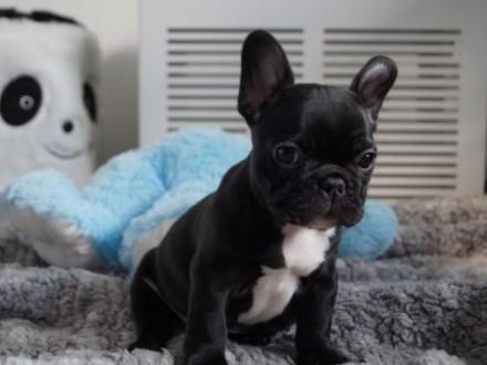 Buldog Francuski rodowód świetne geny psy i suczki