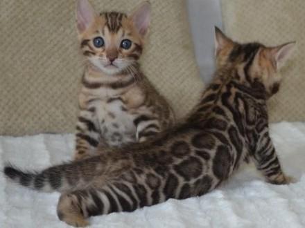 Koty bengalskie z Schelwood - mamy kocieta :-)
