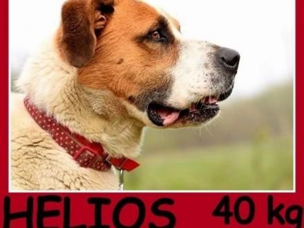 Bernardyn mix  duży 40 kg piękny młody kontaktowy pies HELIOSAdopcja   śląskie Katowice