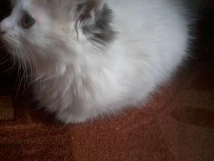 Sprzedam kota   śląskie Jaworzno