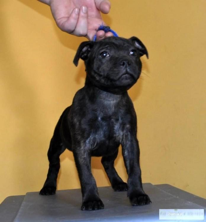 Staffordshire Bull Terrier Stafik Suczka
