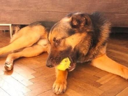 Borys - towarzyski, wesoły, po prostu wymarzony pies! :)