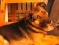 'Borys - towarzyski, wesoły, po prostu wymarzony pies! :)
