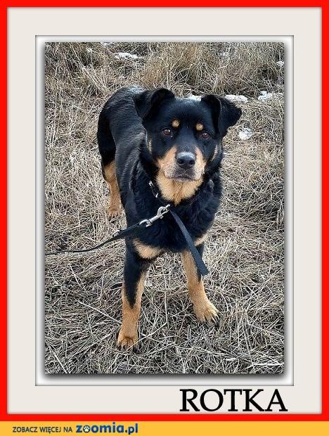 Średnia 20 kg,młoda 10 m-cy,łagodna,bardzo przyjazna,tulaśna sunia ROTKA_Adopcja_