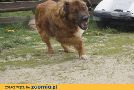 Duży, wesoły pies w typie leonbergera