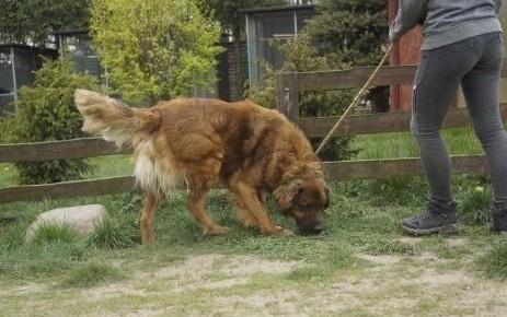 Duży  wesoły pies w typie leonbergera
