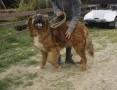 'Duży, wesoły pies w typie leonbergera