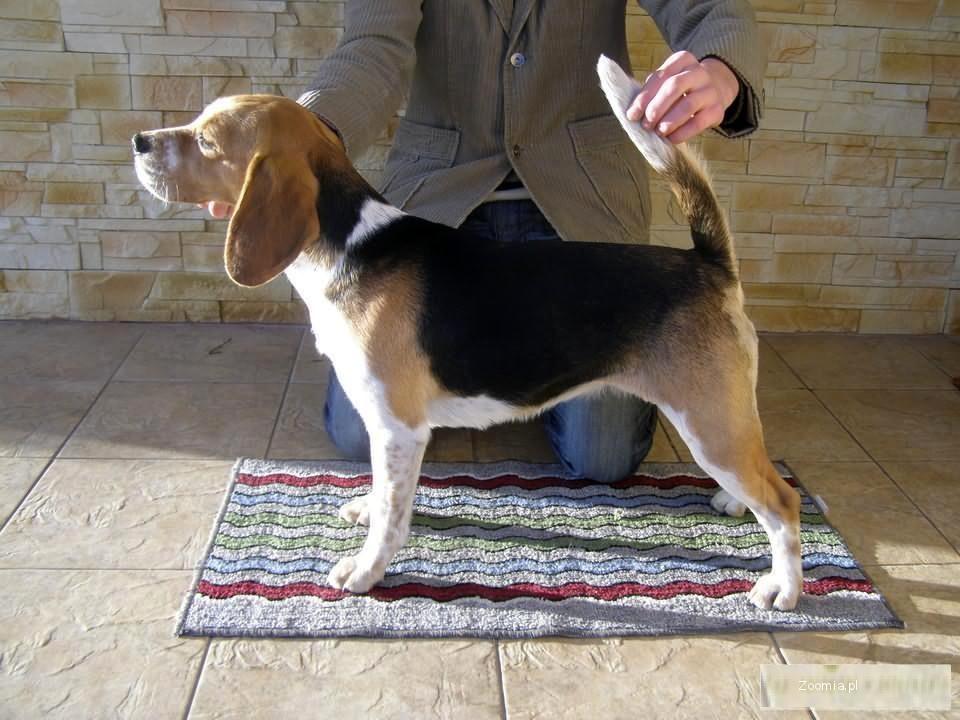 Beagle rodowodowe szczenięta rezerwacja -MIELEC