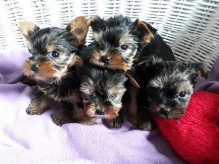 Yorkshire TerrierYorki szczeniaki