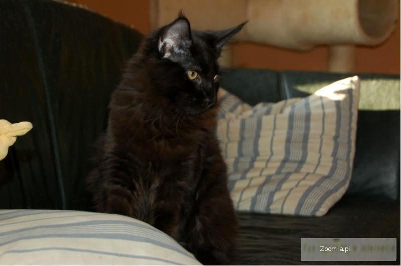 Kociaki Maine Coon z rodowodem TANIO