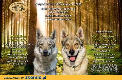 Rezerwacje szczeniąt czechosłowackiego wilczaka,  dolnośląskie Wrocław