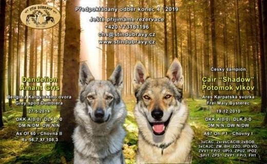 Rezerwacje szczeniąt czechosłowackiego wilczaka   dolnośląskie Wrocław