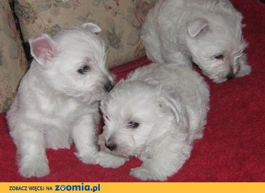 Szczeniaczki West Highland White Terrier z rodowodem FCI,  wielkopolskie Poznań
