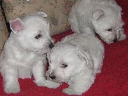 Szczeniaczki West Highland White Terrier z rodowodem FCI   wielkopolskie Poznań