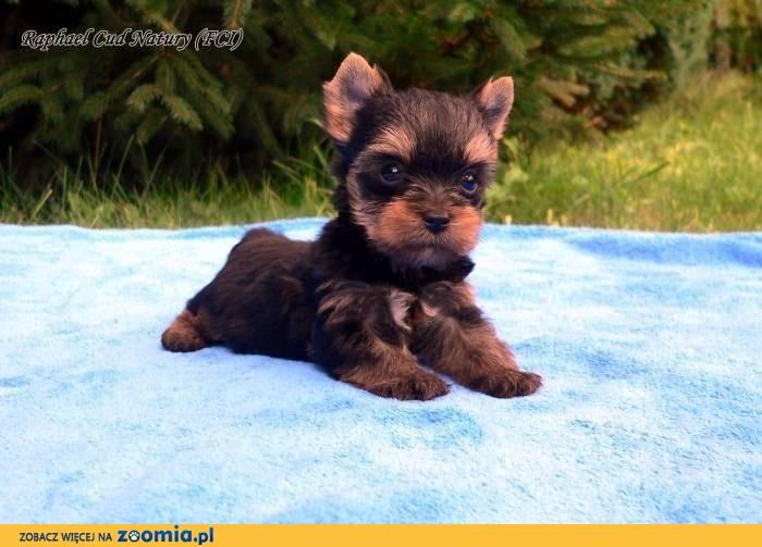 Yorki, yorkshire terrier piesek rodowodowy
