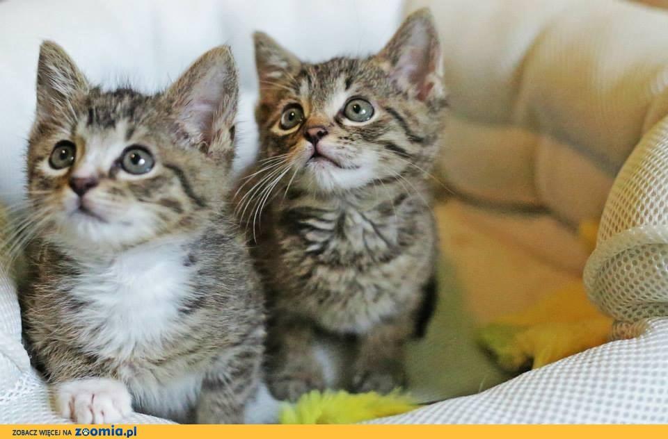 Kociaki słodziaki Mieszko i Miłosz słowiańkie cudaki czekają na dom!