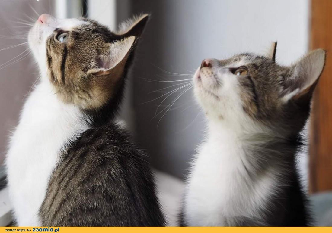 3-miesięczny kot i kotka do adopcji!,  śląskie Częstochowa