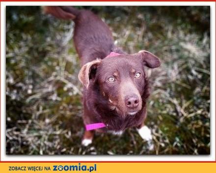 Mały 8 kg wesoły łagodny rodzinny szczepiony psiak CZEKOLADEK_Adopcja_