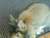oddam królika miniaturke,  mazowieckie Pruszków