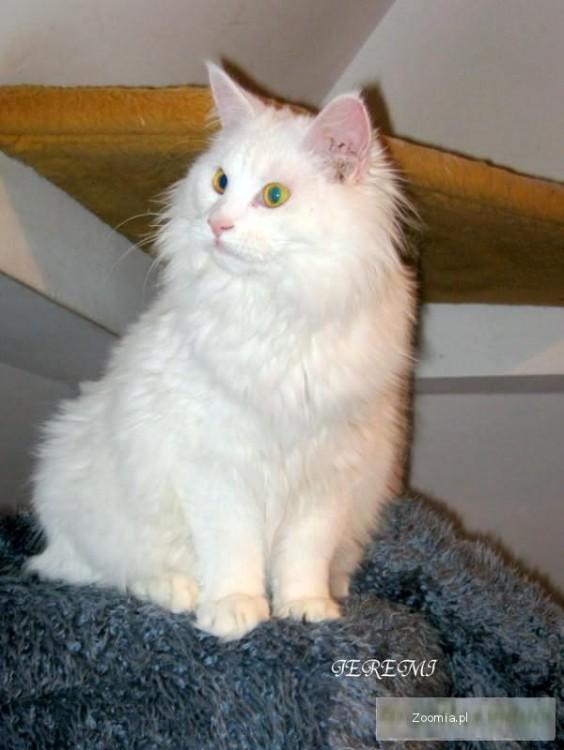Maine Coon Biały Przystojniak Maine Coon Koty Archiwum