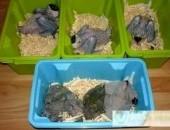 Barwinka Czarnogłowa- Pionites - młode, oswojone, hodowla papug