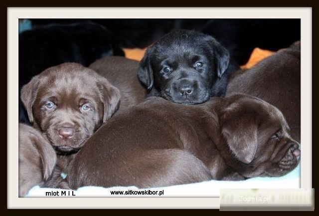 Labrador szczenięta/labradory